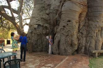 Marianne aan de stam van de grootste Baobab ter wereld. Ze staat ook aan d eingang naar de bar in de boom.