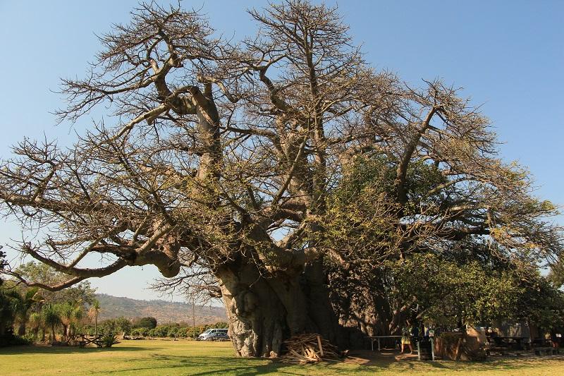 Een overzicht van de grootste Baobab ter wereld